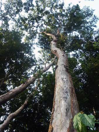 удивительные растения атласное дерево