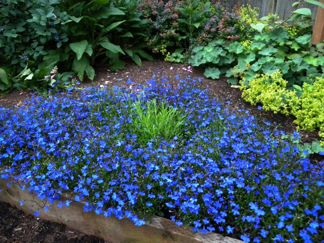 синие цветы лобелия