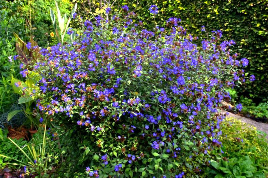 синие цветы цератостигма