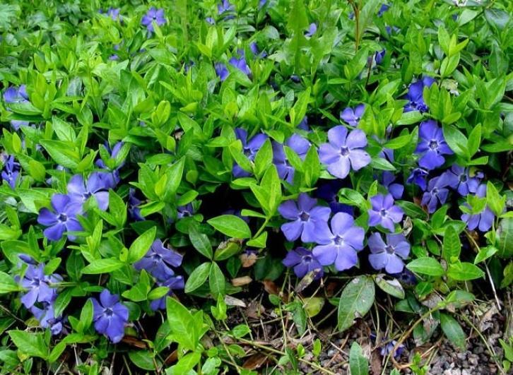 синие цветы барвинок