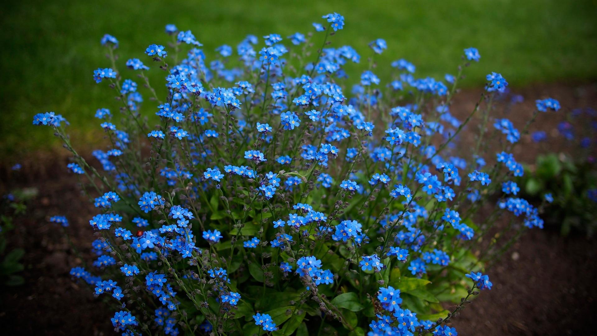 синие цветы незабудка