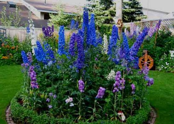 синие цветы дельфиниум