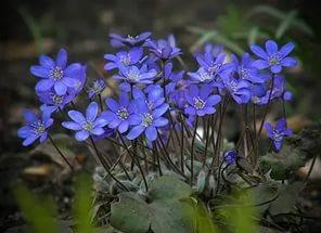 синие цветы печеночница
