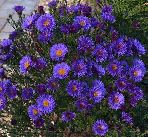 синие цветы астра многолетняя