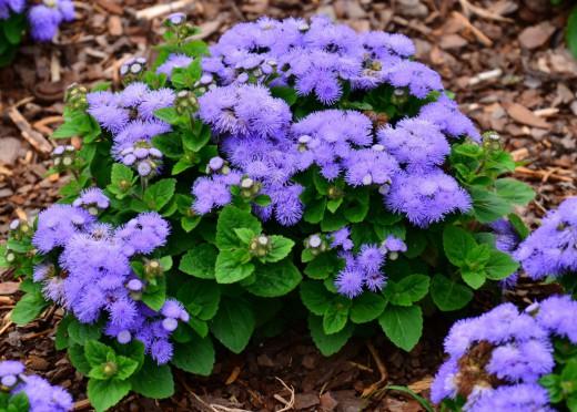 синие цветы агератум