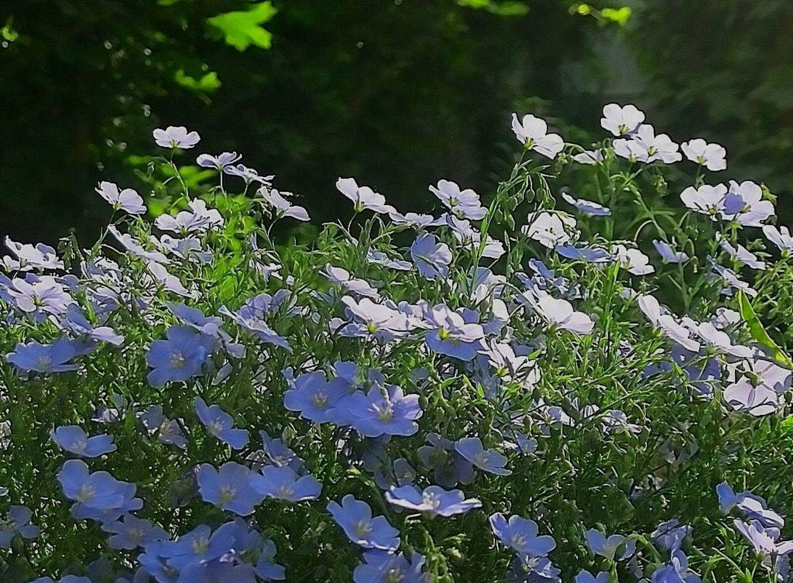 синие цветы лен
