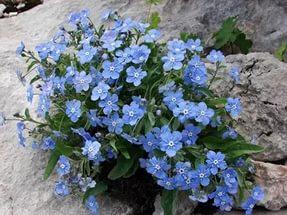 синие цветы пупочник
