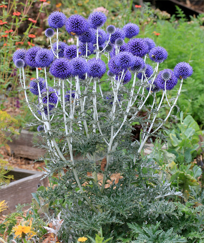 синие цветы мордовник