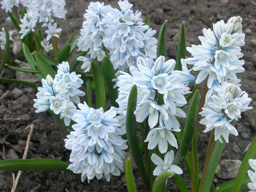 синие цветы пушкиния