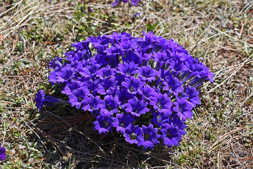 синие цветы горечавка