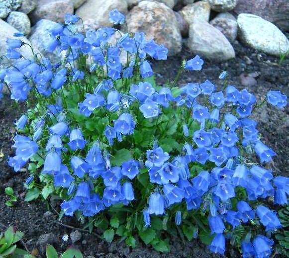 синие цветы колокольчик