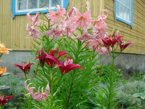 Лилии или гладиолусы