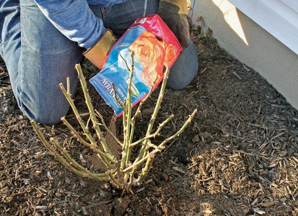 Подкормка роз весной