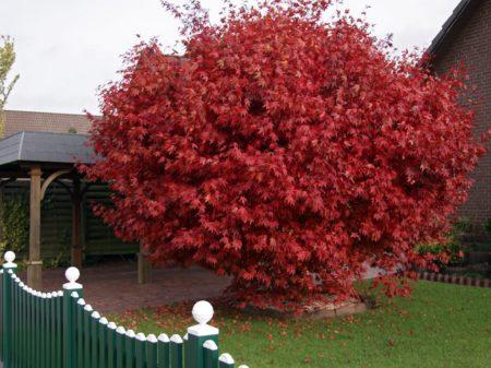 декоративные красные кустарники красный клен