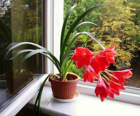 Луковичные комнатные цветы