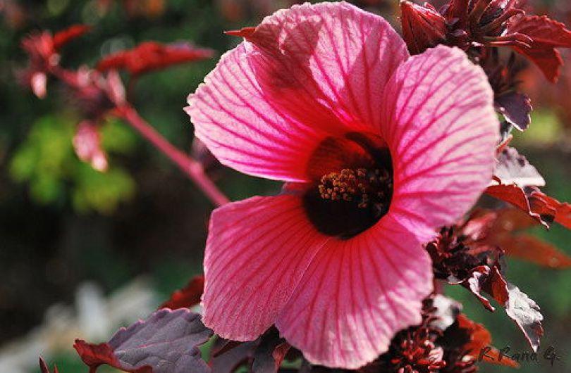 Как зимует гибискус садовый