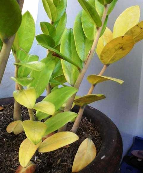 Замиокулькас желтеют листья