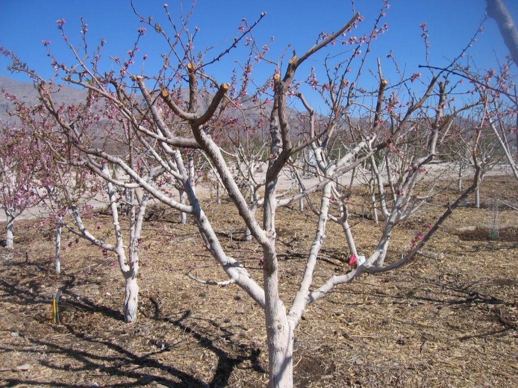 обрезка абрикосов весной